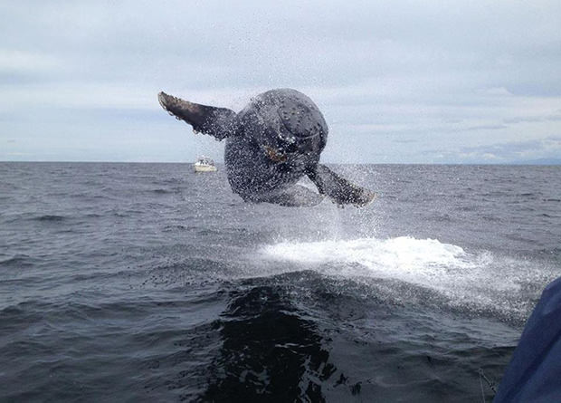 balena cu cocoasa  Tofino, British Columbia, Matthew Thornton