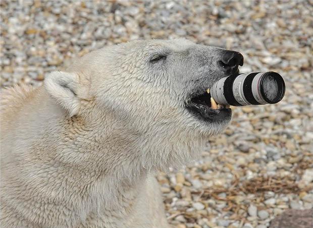 ursul polar