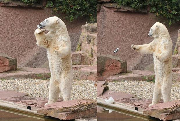 urs polar gradina zoo