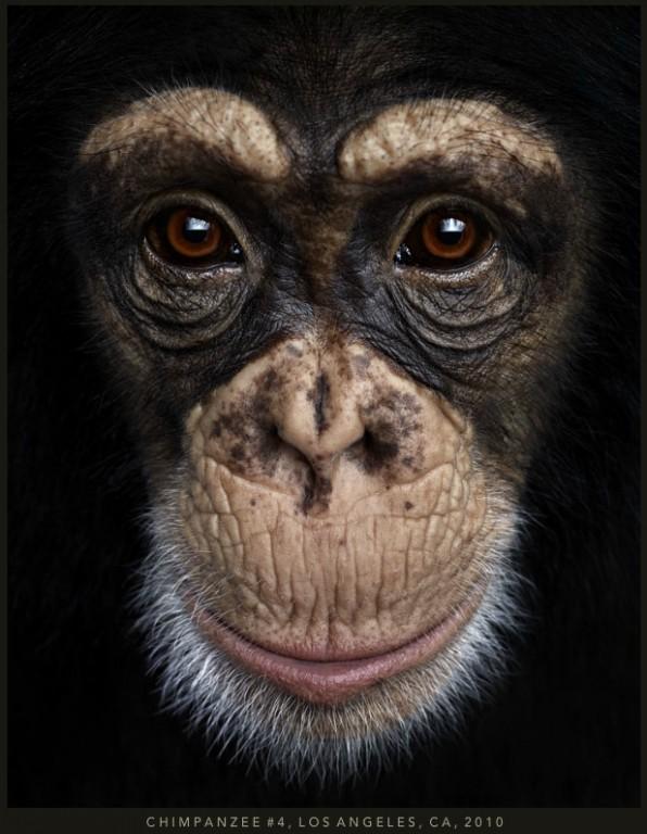 portret de cimpazeu