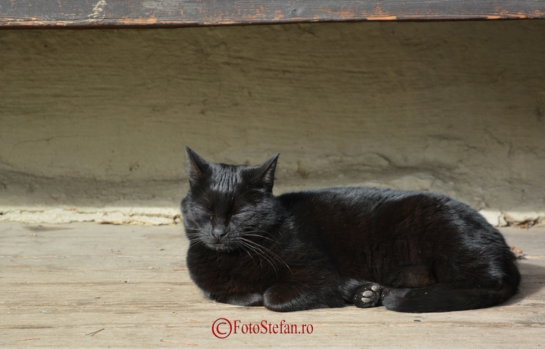 pisica neagra toarce