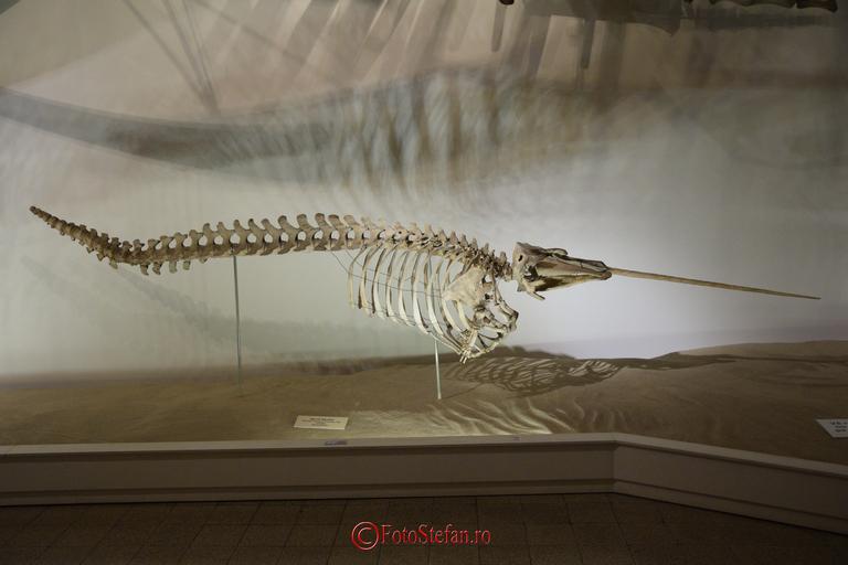 narval schelet antipa