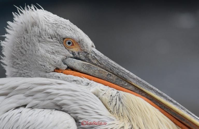 pelican gradina zoologica bucuresti