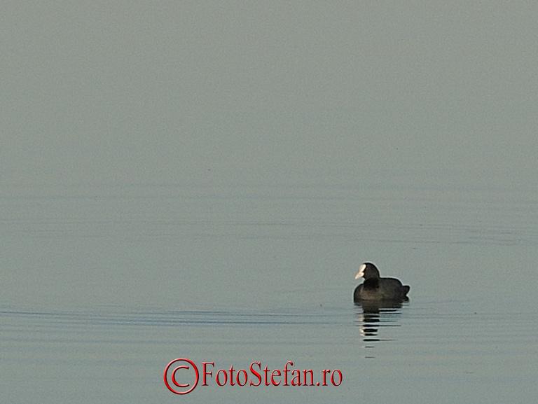 lacul-morii-rata-cioc-alb-23