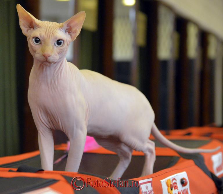 pisica Sphynx bucuresti