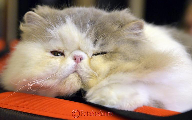 pisica adormita