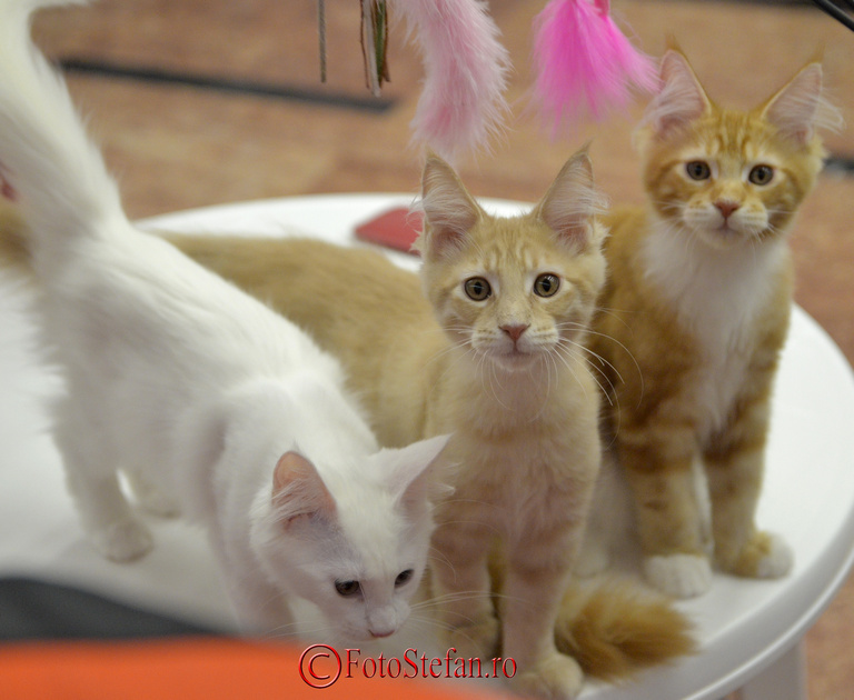 pisici bucuresti sala palatului