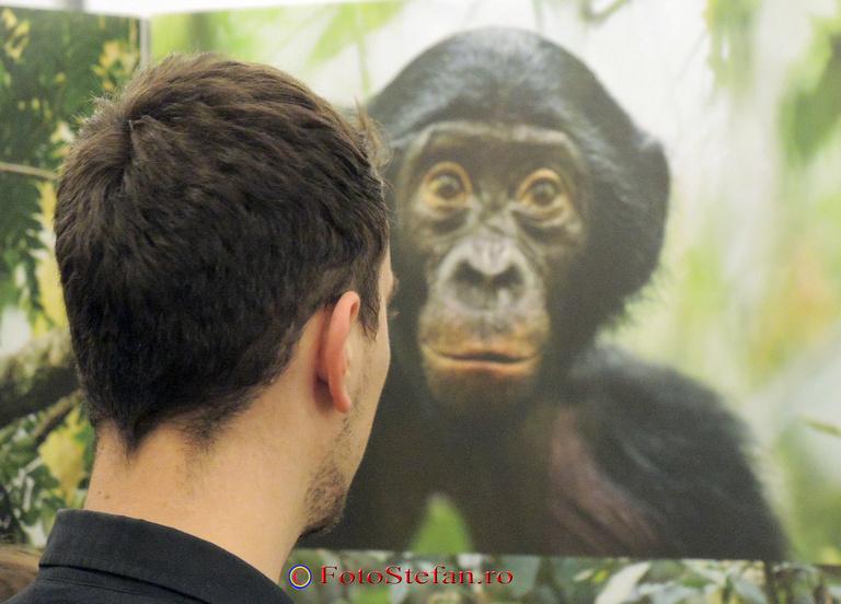 maimuta cimpazeu poza