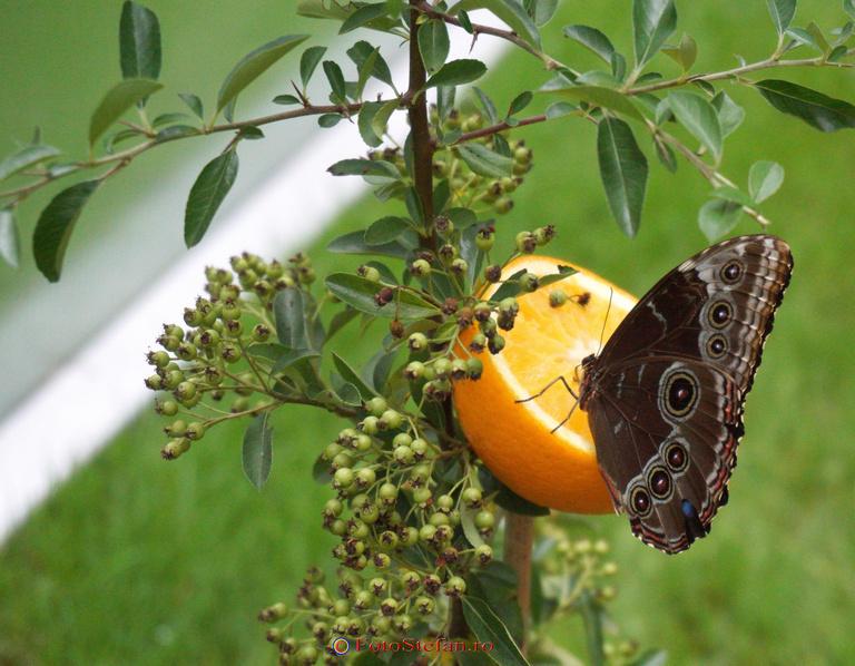 hranire fluture viu