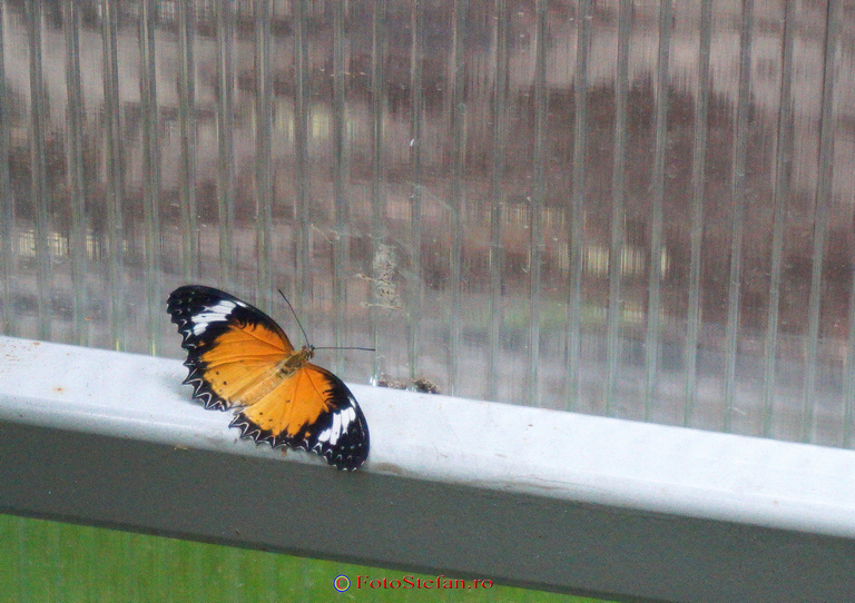 fluture viu in sera