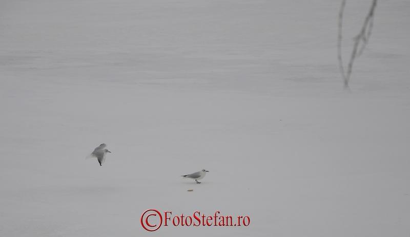 pescarusi iarna lac herastrau