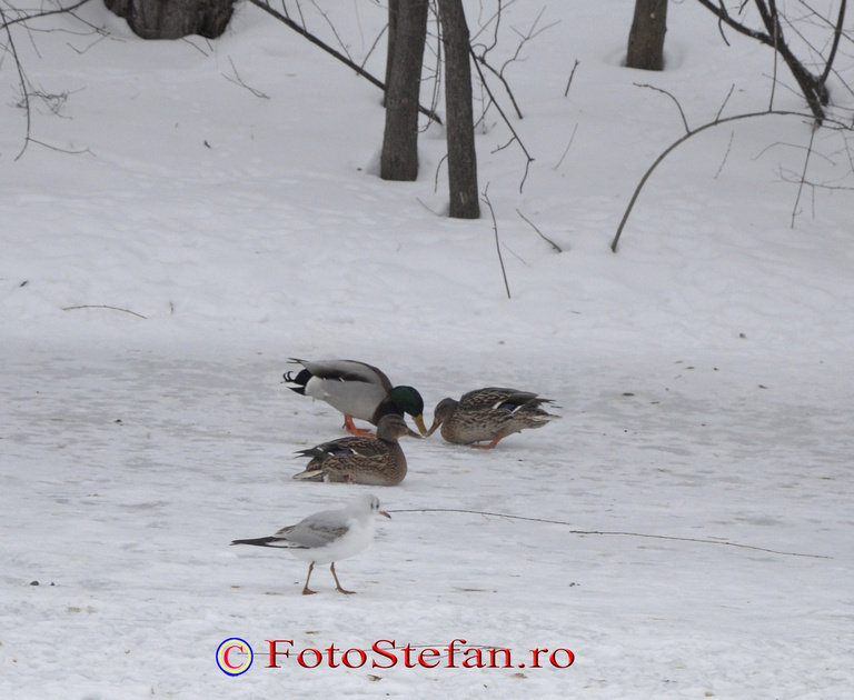 pasari iarna parc bucuresti zapada