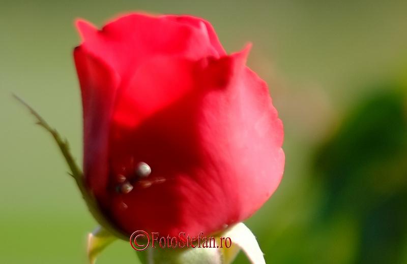 crop 100% trandafir furnica