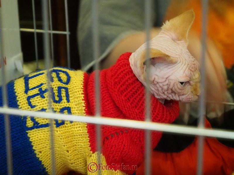 Sphynx pisica imbracata