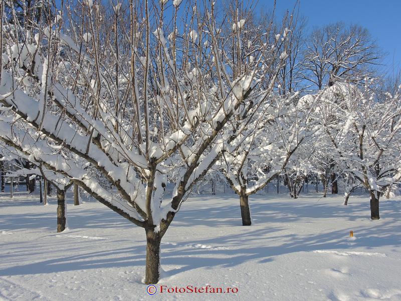 ciresi iarna zapada bucuresti