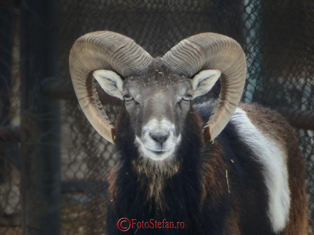 gradina zoologica mufon muflon