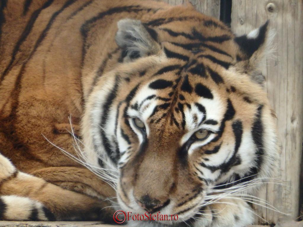 tigru gradina zoologica bucuresti