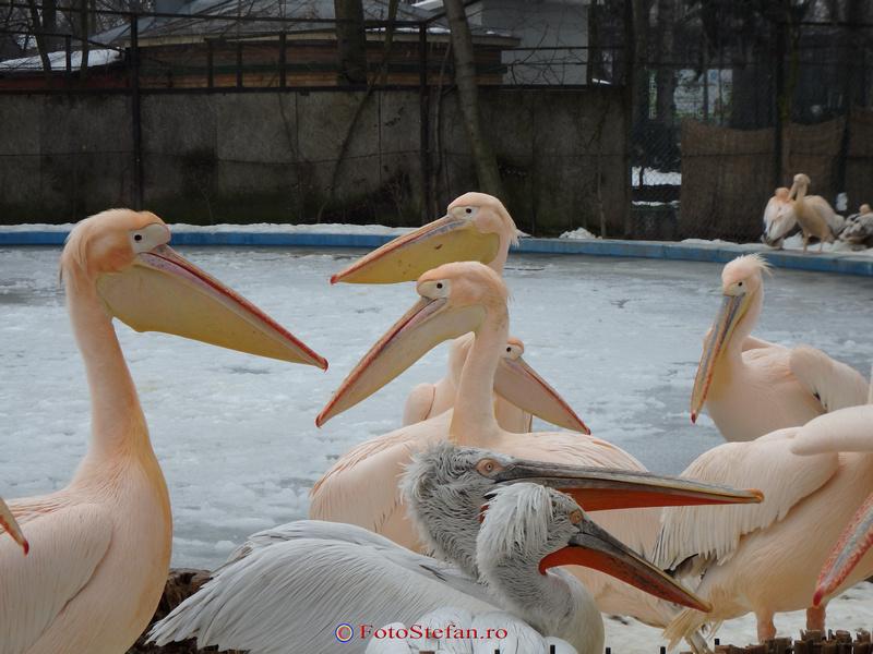 pelicani gradina zoologica bucuresti