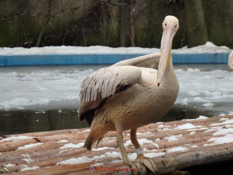pelican gradina zoologica bucuresti baneasa
