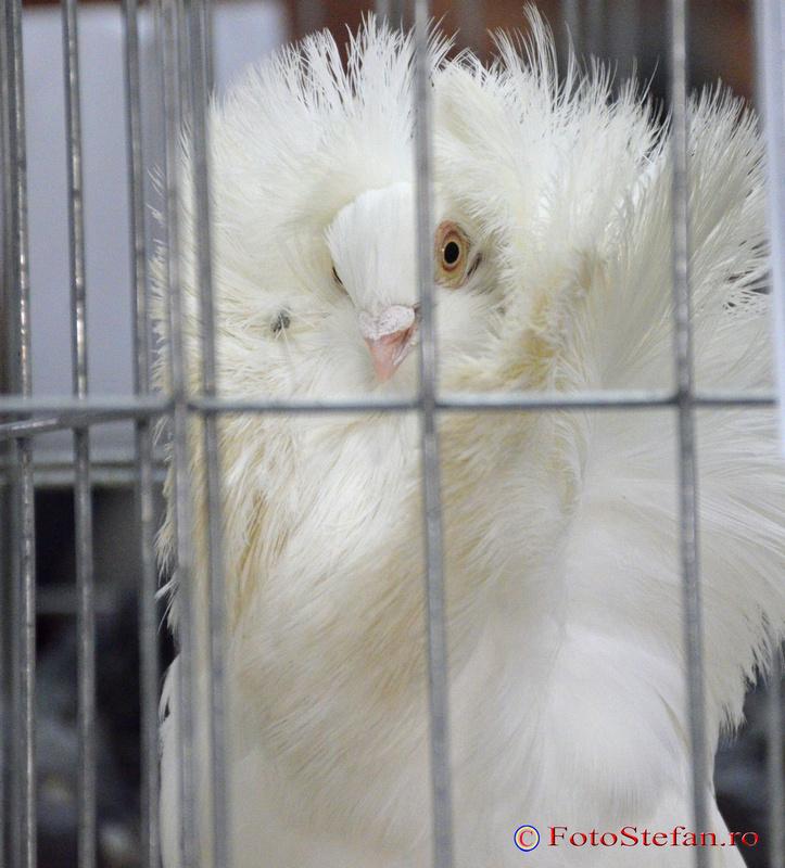 porumbel alb guler pene