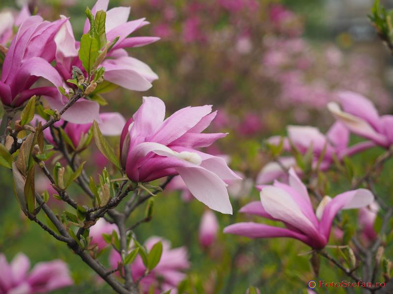 magnolii primavara bucuresti