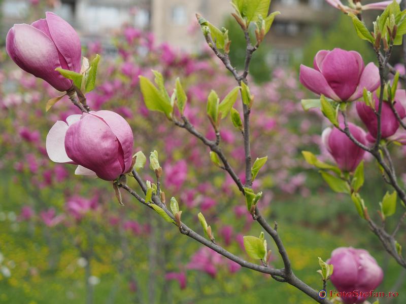magnolii bucuresti