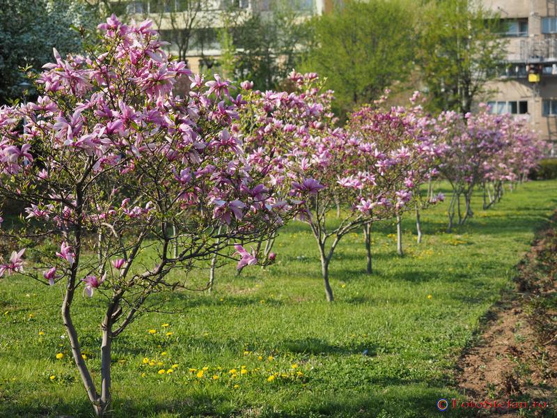 magnolii inflorite bucuresti