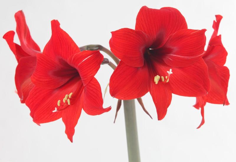 poza foto flori rosii