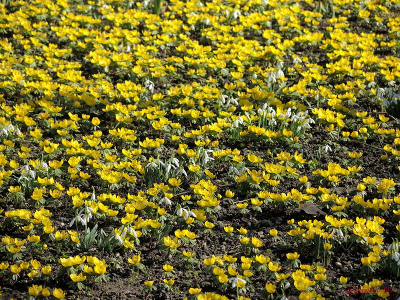 poza foto ghiocei flori de primavara