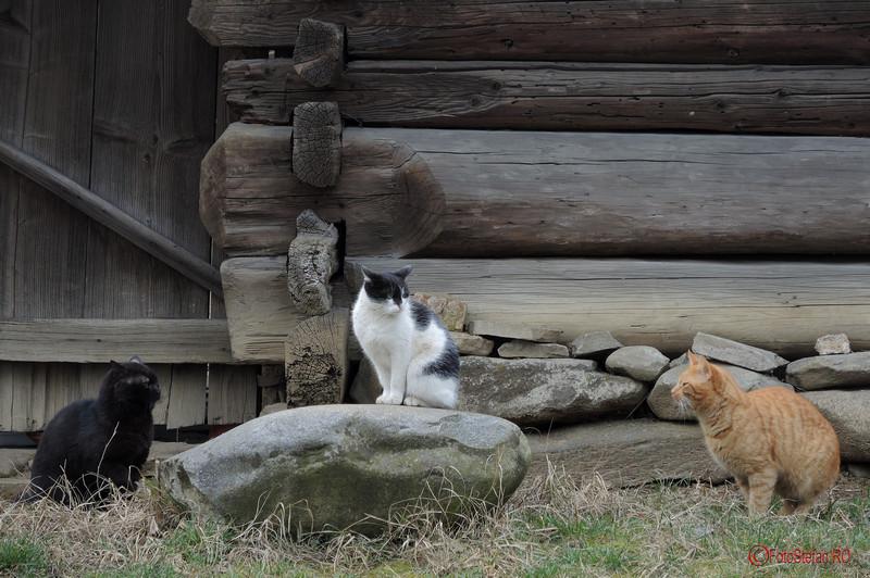 """poza pisici Muzeul Naţional al Satului """"Dimitrie Gusti"""""""