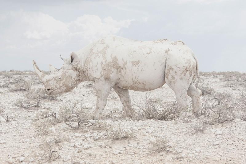 poza rinocer alb Maroesjka Lavigne, Belgia