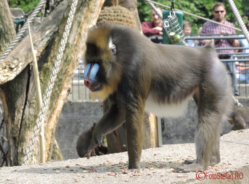 poza maimuta mandril Artis Royal Zoo Amsterdam Olanda