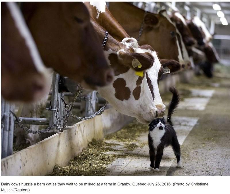 poza vaca pisica reuters fotograf