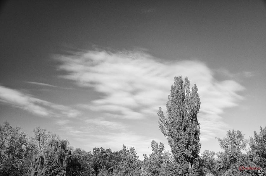 poza alb negru copac silver efex pro