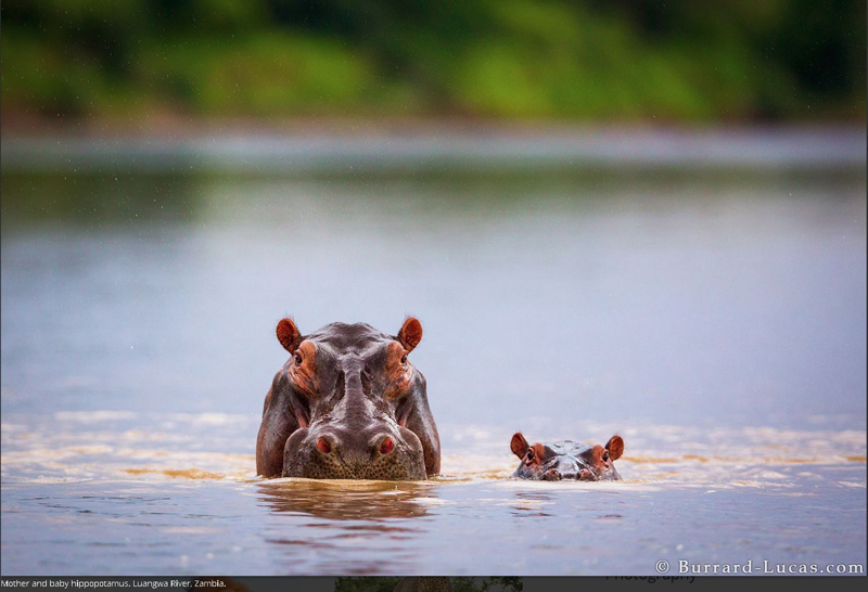 fotograf Will Burrard-Lucas hipopotani afica zambia