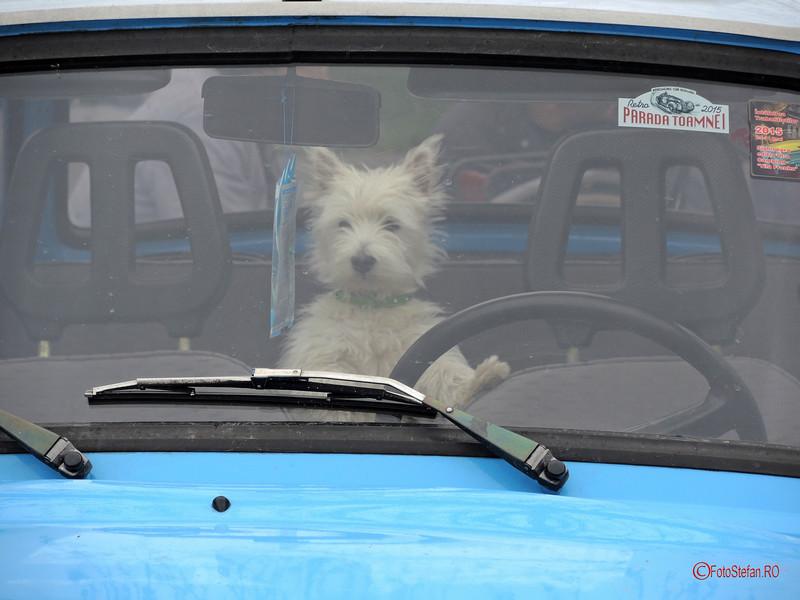 poza caine volan trabant masina