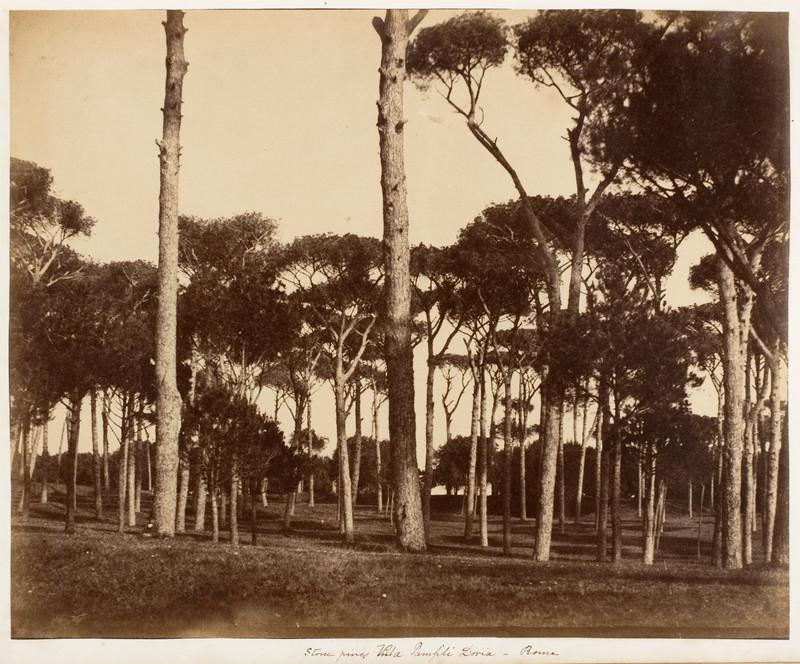 veche poza gratuita pini umbrela roma italia 1850