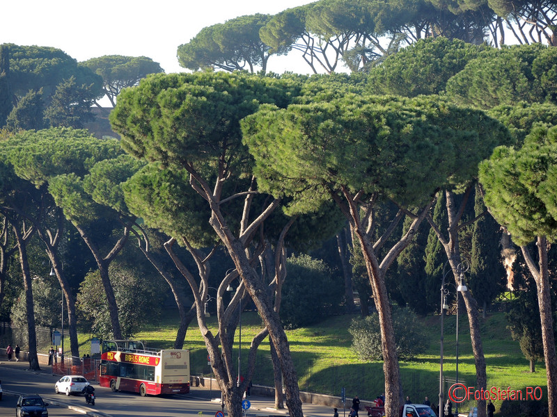 poza Pinus Pinea roma italia decembrie