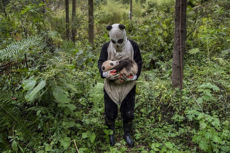 poza urs panda pui padure