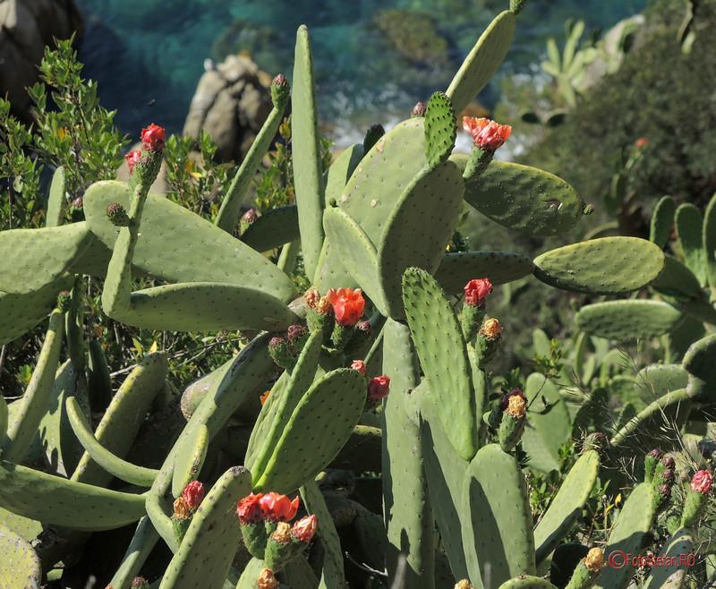 poza foto cactusi infloriti lloret de mar costa brava