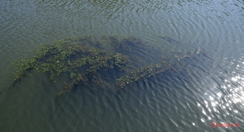 poza alge plante acvatice riul dambovita bucuresti