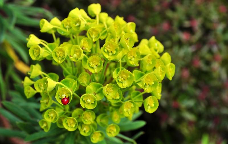 poza buburuza gargarita floare Isle of Wight anglia marea britanie