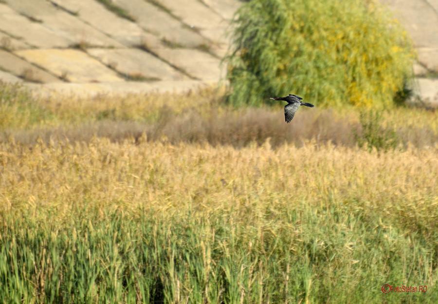 poza fotografii pasari Parcul Natural Vacaresti  Delta Bucurestiului