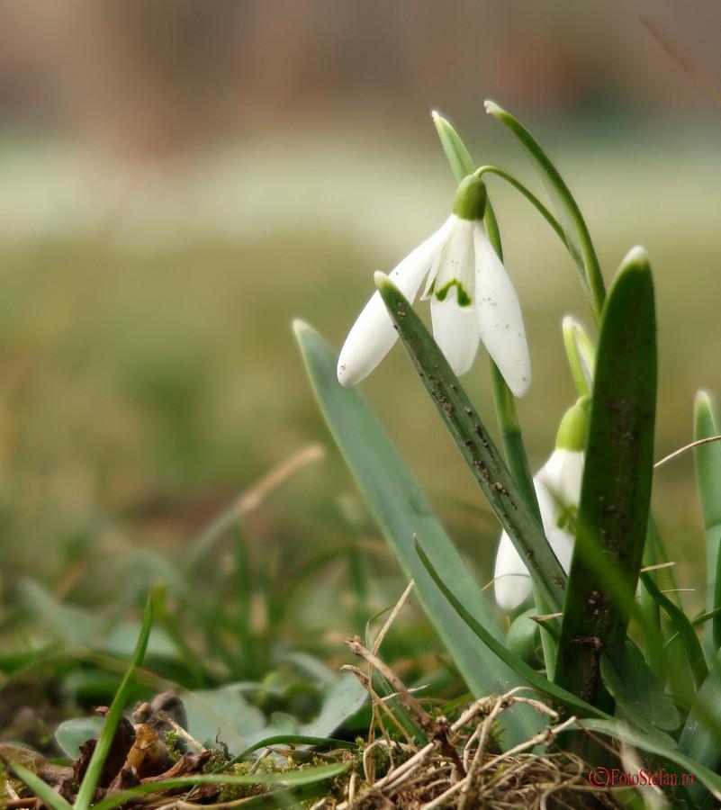 poze ghiocei flori primavara parcul cismigiu bucuresti