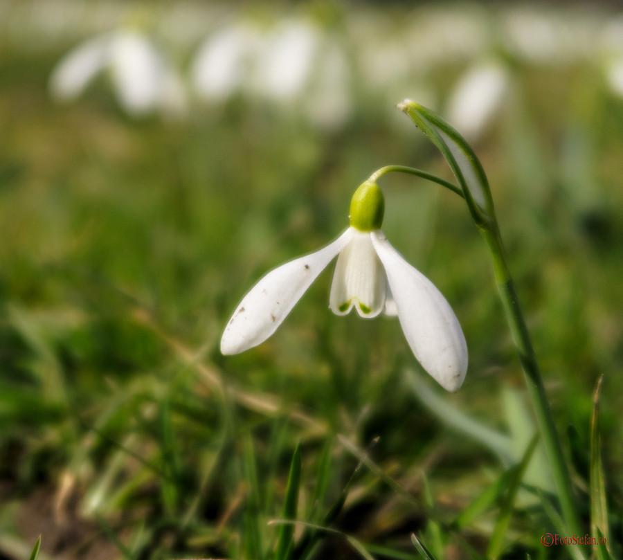 snowdrop flower photo bucharest cismigiu park