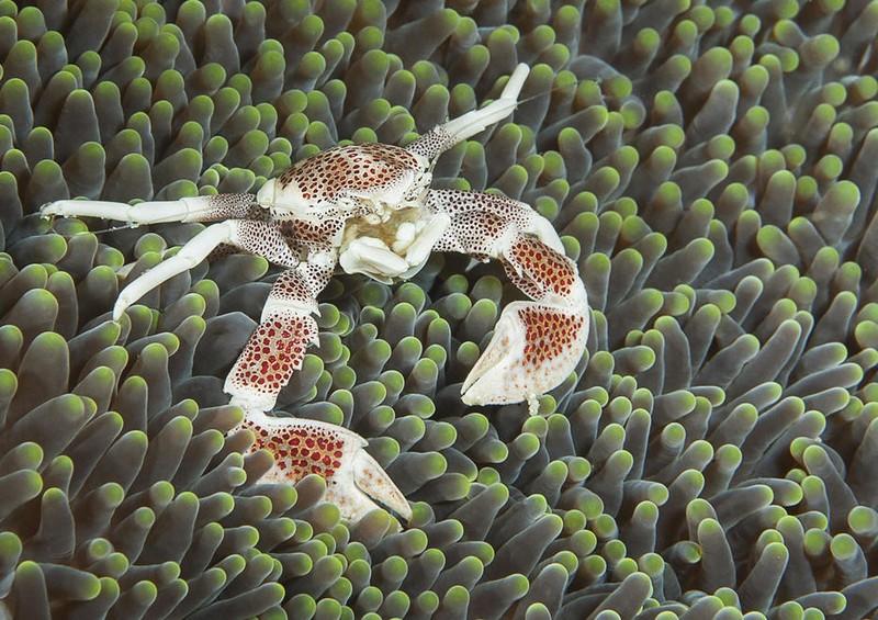 poza crab portelan fotografie natura fauna salbatica wildlife