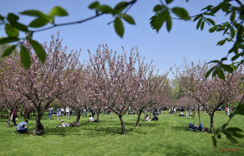 poze ciresi infloriti gradina japoneza parcul herastrau bucuresti