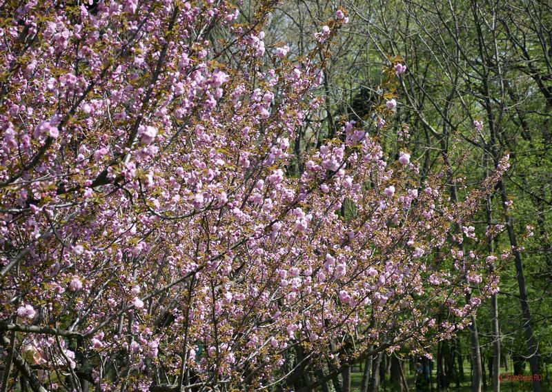 poze flori cires gradina japoneza herastrau bucuresti