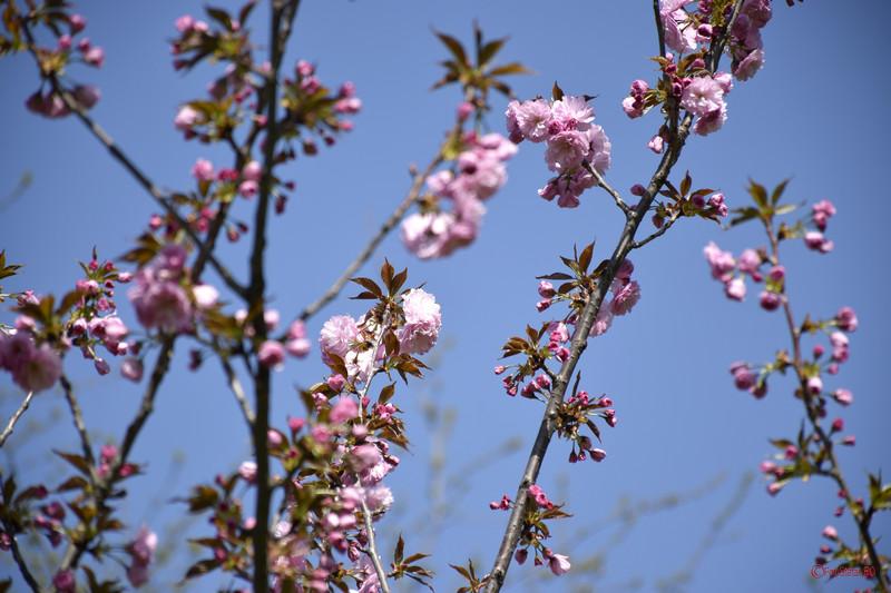 poze fotografii flori cires gradina japoneza bucuresti