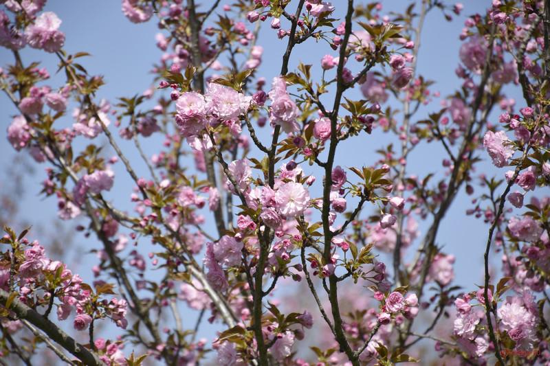 fotografii ciresi infloriti gradina japoneza parcul herastrau bucuresti